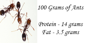 Ants Protein